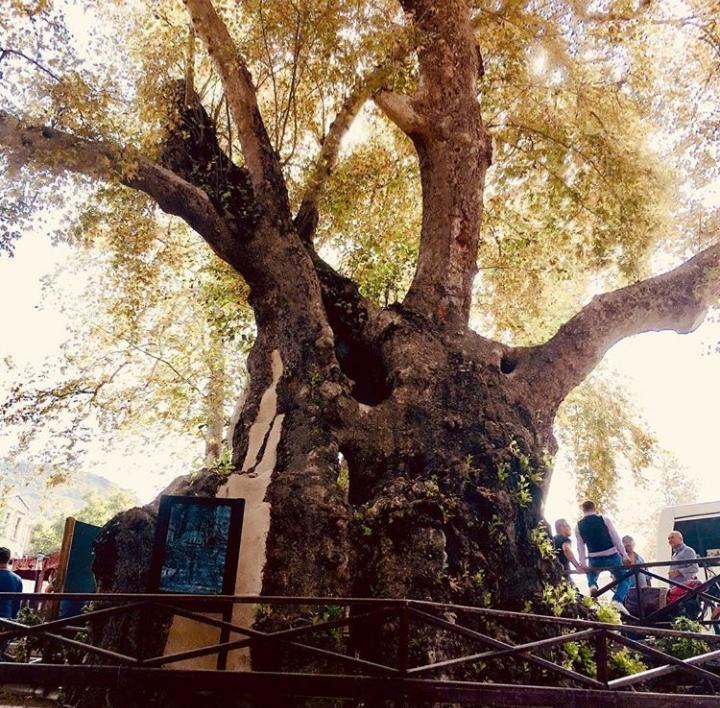 Hatay Efsaneleri - Musa Ağacı