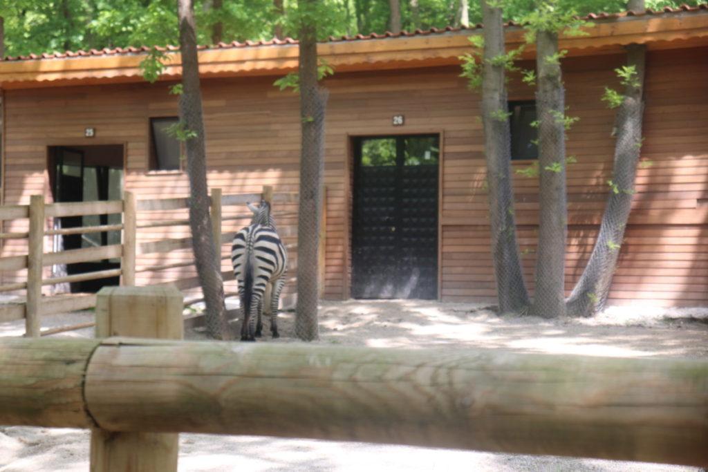 Ormanya Zebra